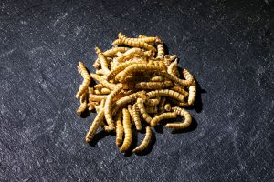 Mealworms (Tenebrio molitor) have a small ecological footprint and a high protein content.  (Photo: Markus Breig, KIT)