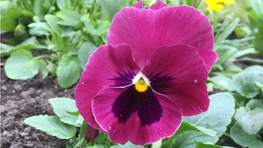 Viola Flower Helps to Advance Light Harvesting in Solar Cells