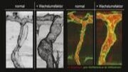 In vivo images of growing artery (A, B) and confocal images of arterial blood flow and arterial endothelial actin cytoskeleton (C, D). Detailed caption at the end of the text. (Images: ZOO, KIT)