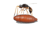 Resurrected digitally: The parasitic wasp Xenomorphia resurrecta lays an egg in a fly pupa (Figure: Thomas van de Kamp, KIT; Nature Communications)