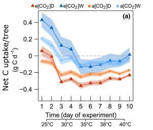 Total carbon uptake by Aleppo pines at increasing temperature. The plot shows the reaction of trees at atmospheric (a) versus elevated (e) CO2 level under conditions of good watering (W, blue) and drought stress (D, orange). (Graphics: Plant Ecophysiology Lab, KIT)