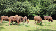 At the beginning of the 20th century bisons were almost extinct. In 2013, species conservationists have again settled a herd in the Rothaargebirge. (Photo: Timo Deible, Karlsruhe Zoo)