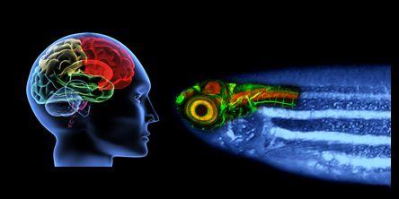 Die Ergebnisse der Untersuchungen des Zebrafisches lassen sich auf das menschliche Gehirn übertragen (Grafik: ITG, KIT)