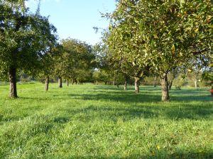 Potentieller Energieträger: Landschaftspflegegras von Streuobstflächen. Foto: Leible / ITAS