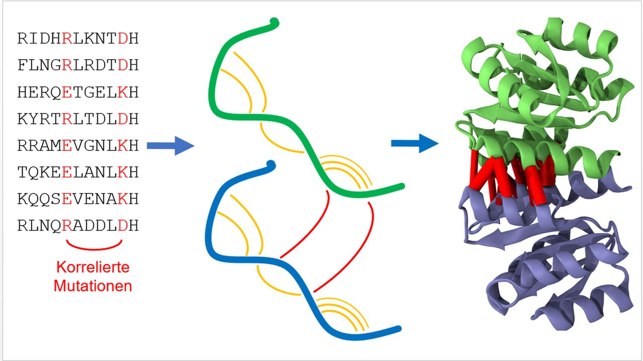 Homodimers are identical pairs of protein chains (proteins, green and blue) that bind to each other. Statistical analysis of protein sequences looks for mutations reflecting spatial proximity of protein segments both within the same protein (orange) and w
