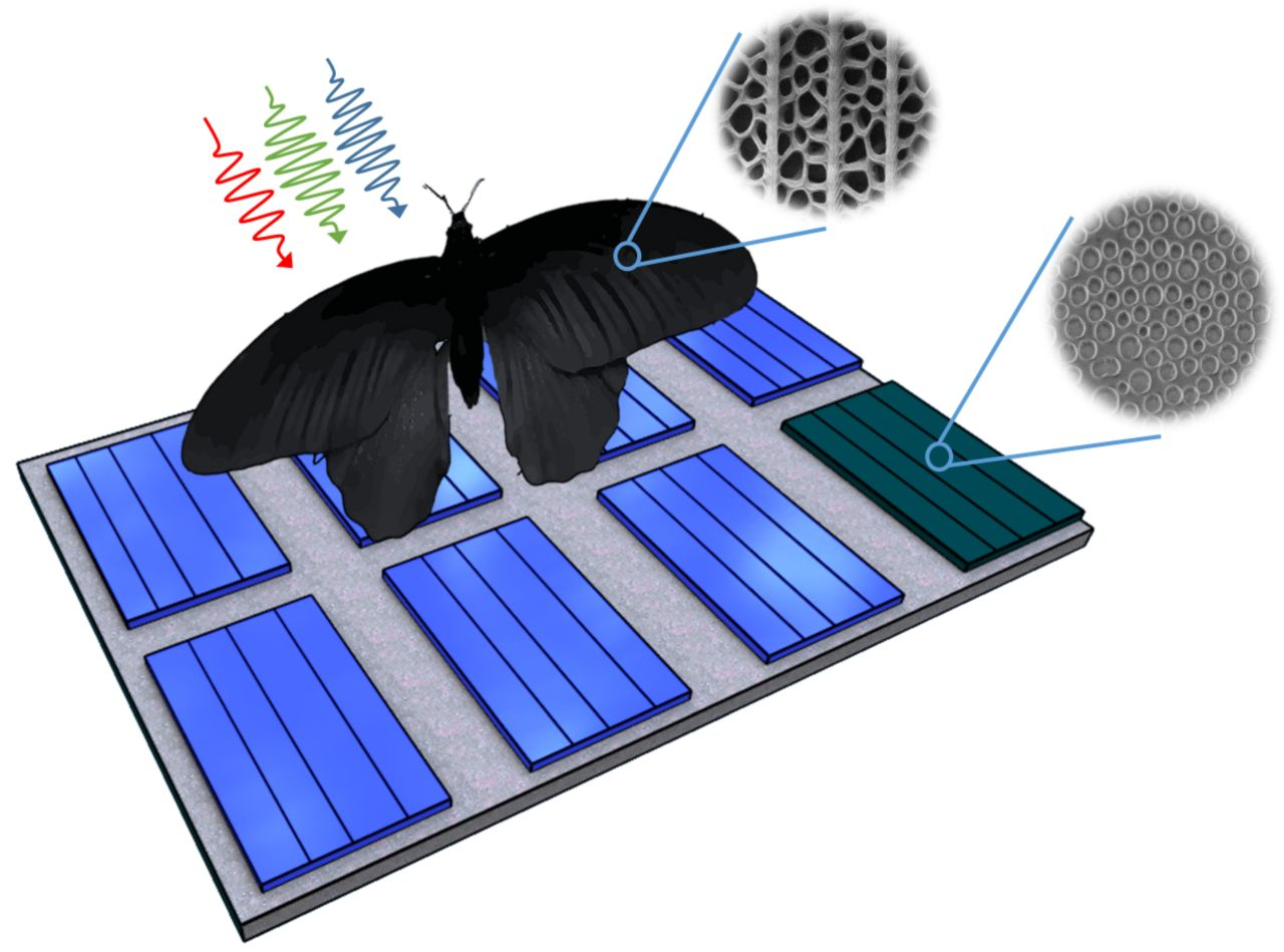 Nanostructures of the wing of Pachliopta aristolochiae can be transferred to solar cells and enhance their absorption rates by up to 200 percent. (Graphics: Radwanul H. Siddique, KIT/Caltech)
