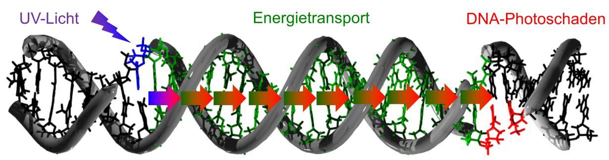 可以在距光入射点最多30个DNA构件上检测到DNA损坏。